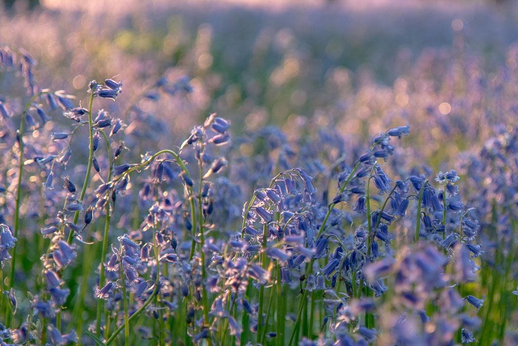 bluebells in golden sunset light