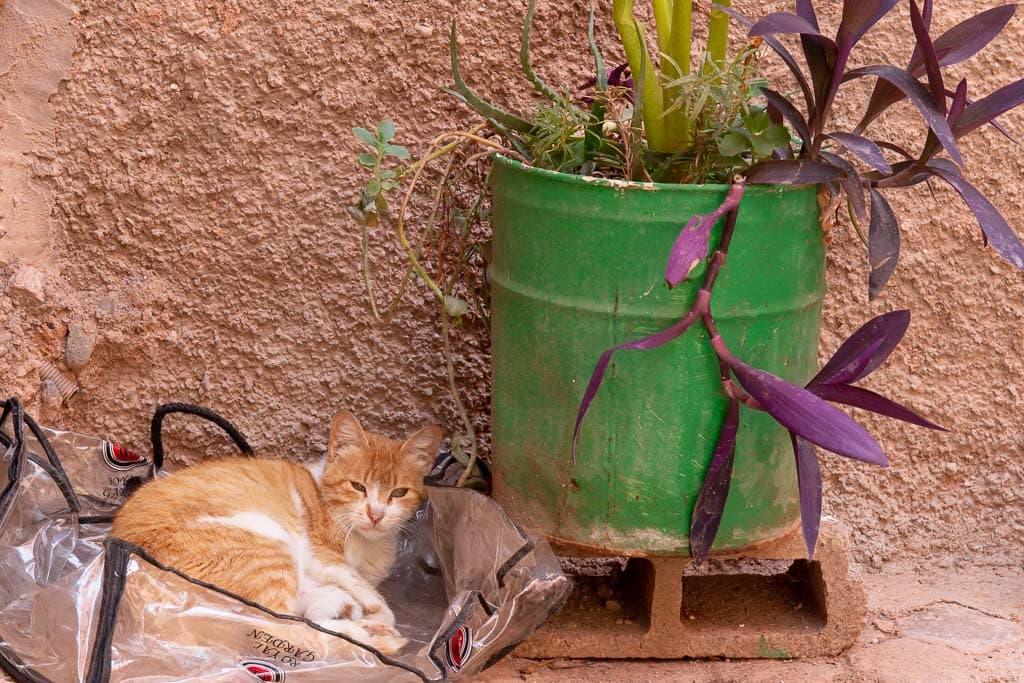 street cat in Marrakech by a green drum with plants