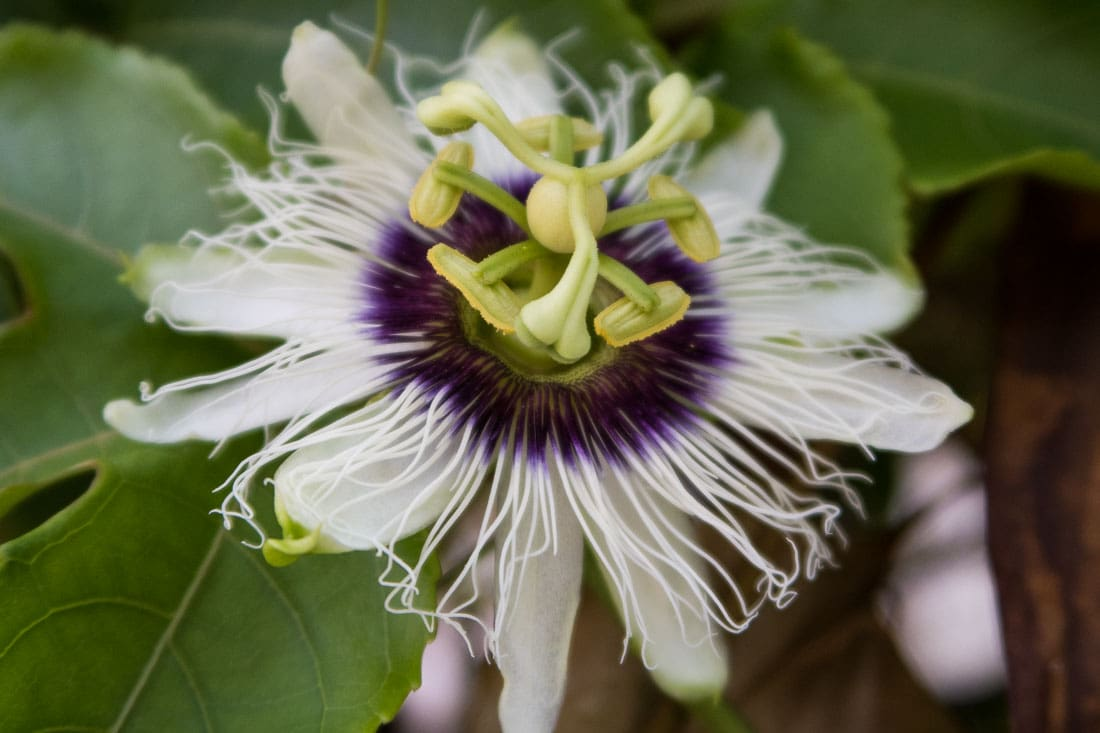 passion flower in Maldives