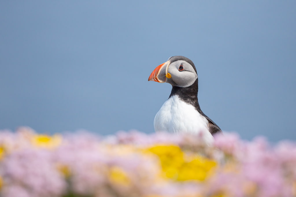 A puffin with yellow and pink flowers and blue sea