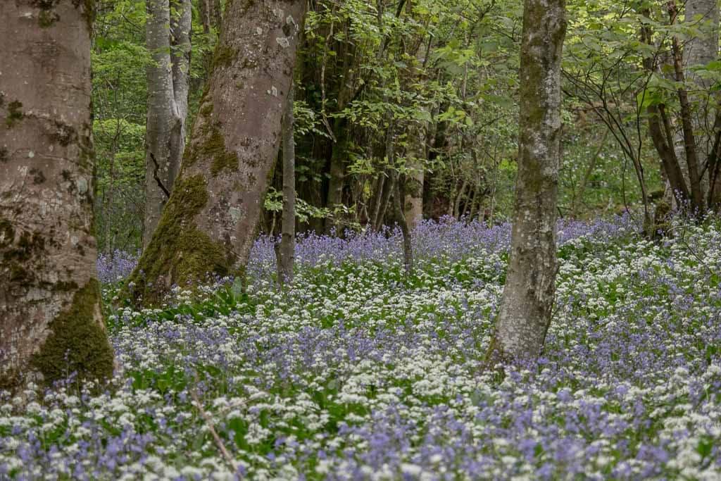 bluebells and garlic in somerset