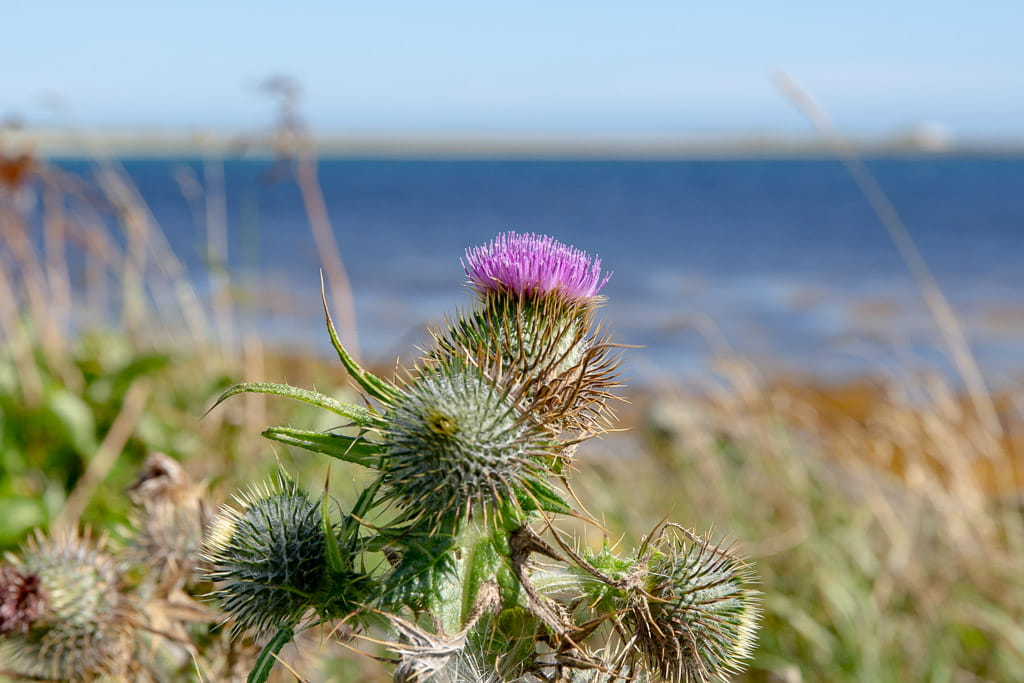 thistle i Scotland with blue sea behind
