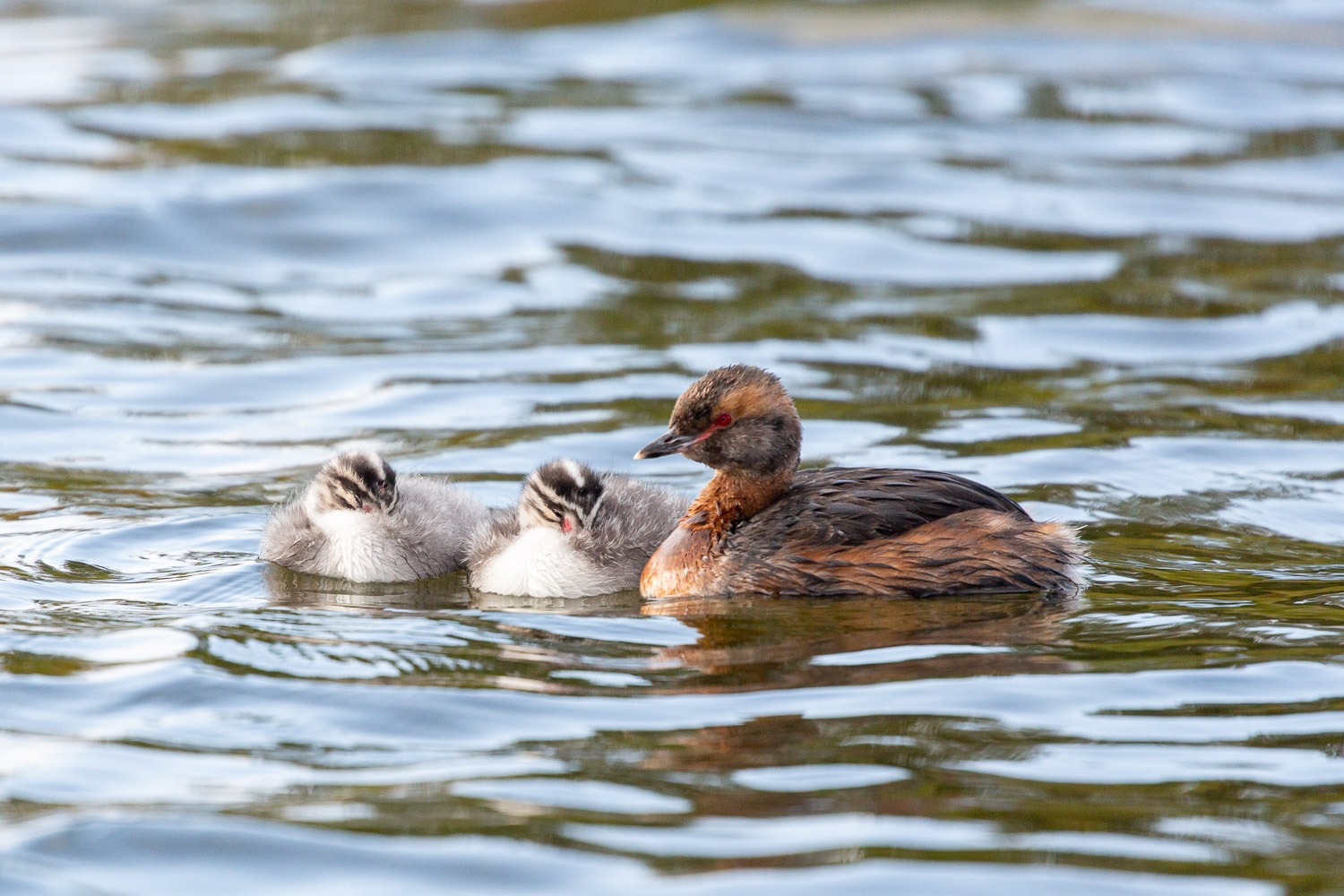 slavonian grebe with two chicks on water