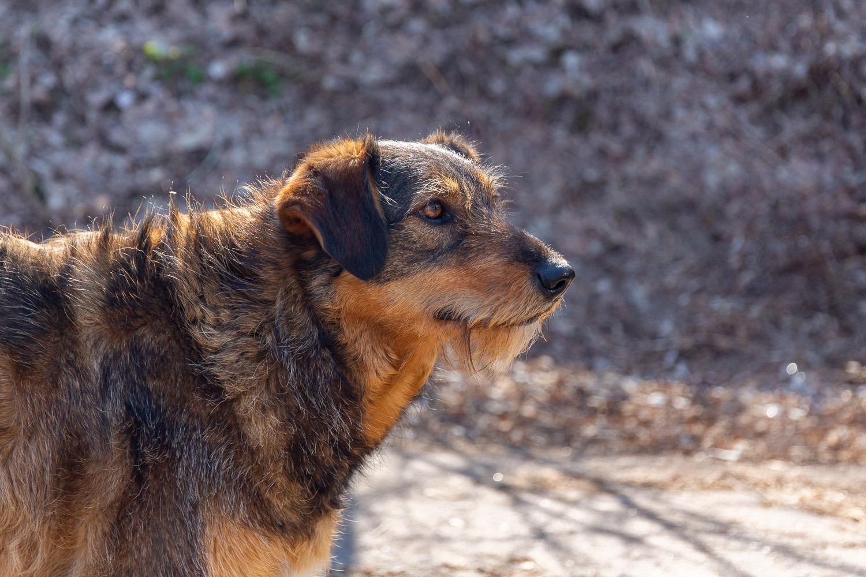 dog with beard in sunshine
