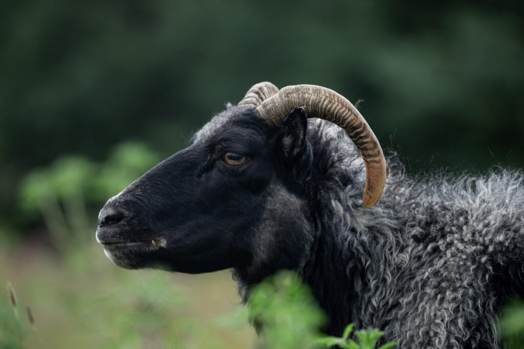 black sheep with horns eating grass