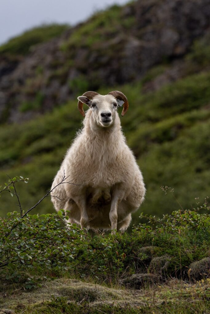 a sheep standing on a hillside in Iceland