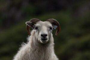 a sheep portrait