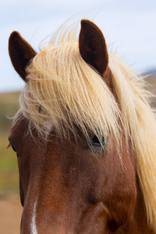 blonde maned horse in Iceland