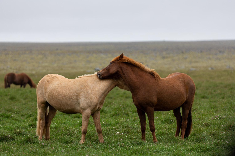 Twom icelandic horses together