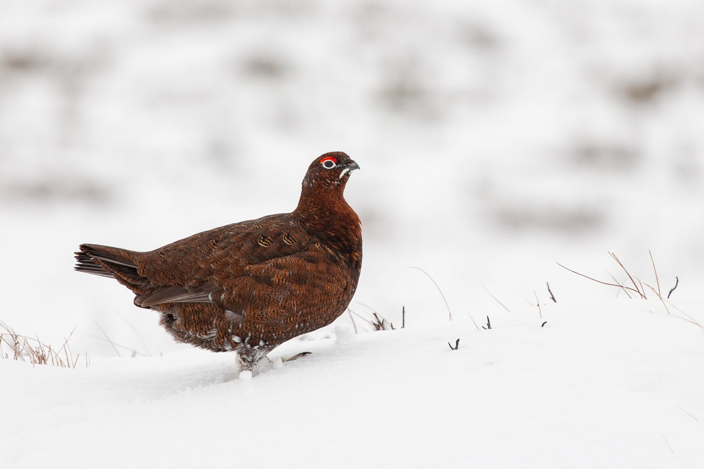 grouse with smooth white background