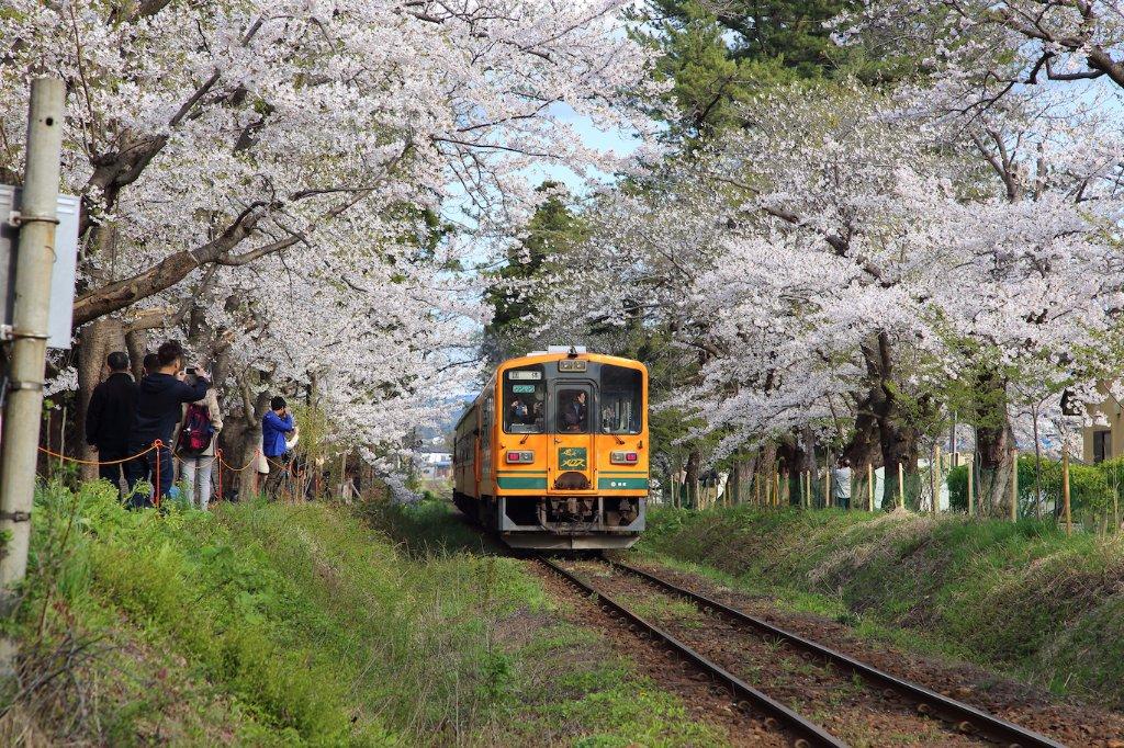 Train passing through cherry blossom