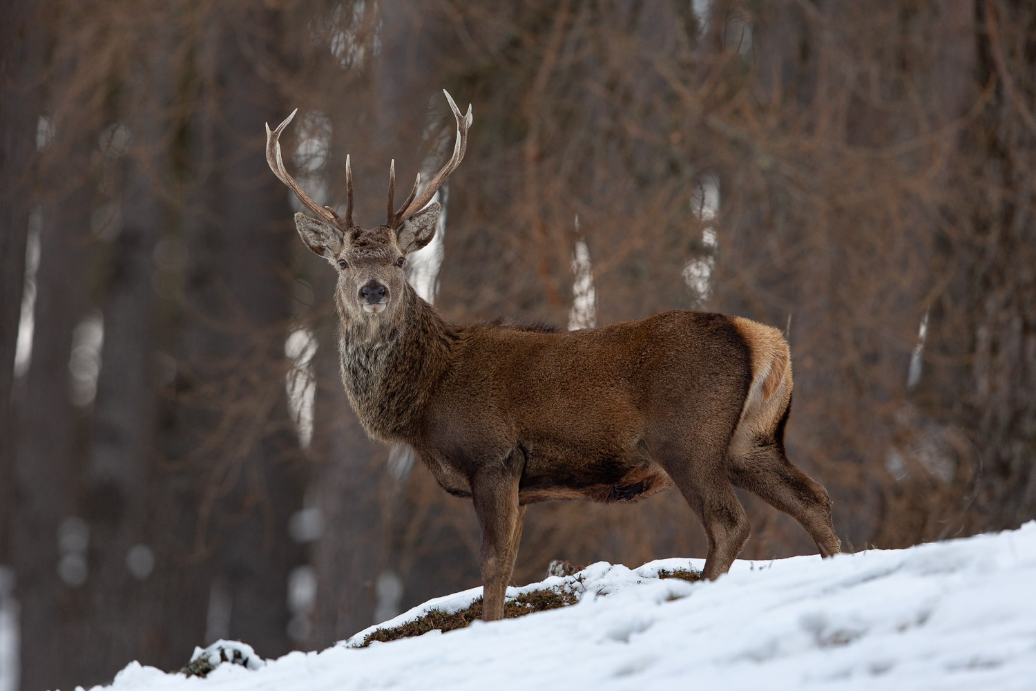 Red deer stag in the Caledonian forest of the Cairngorm mountains