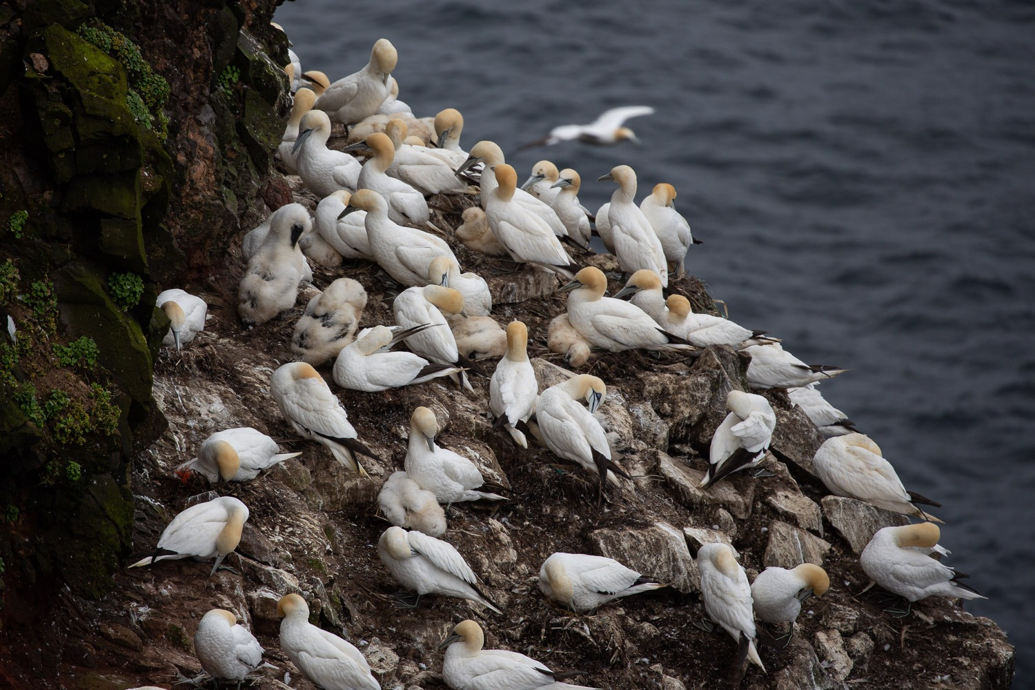 young gannets in the colony