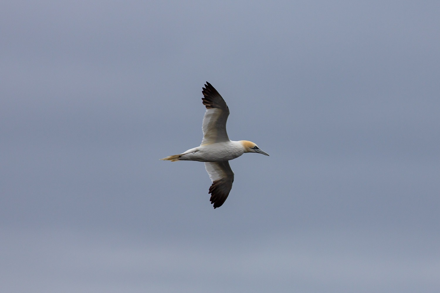 a gannet flying over water
