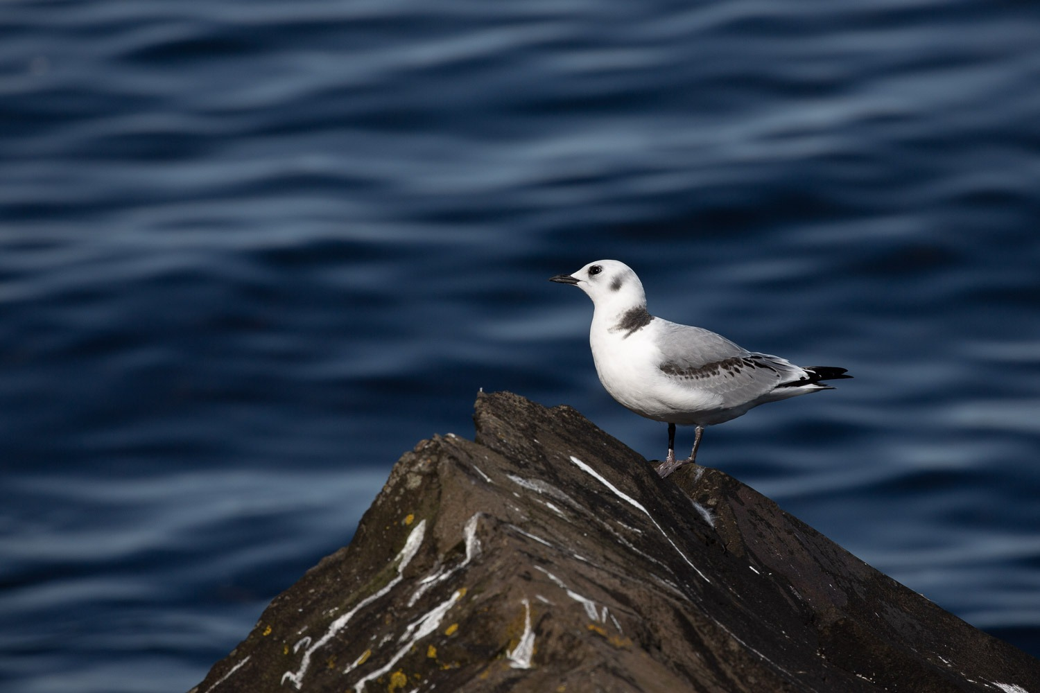 a kittiwake sitting on a rock with deep blue sea behind