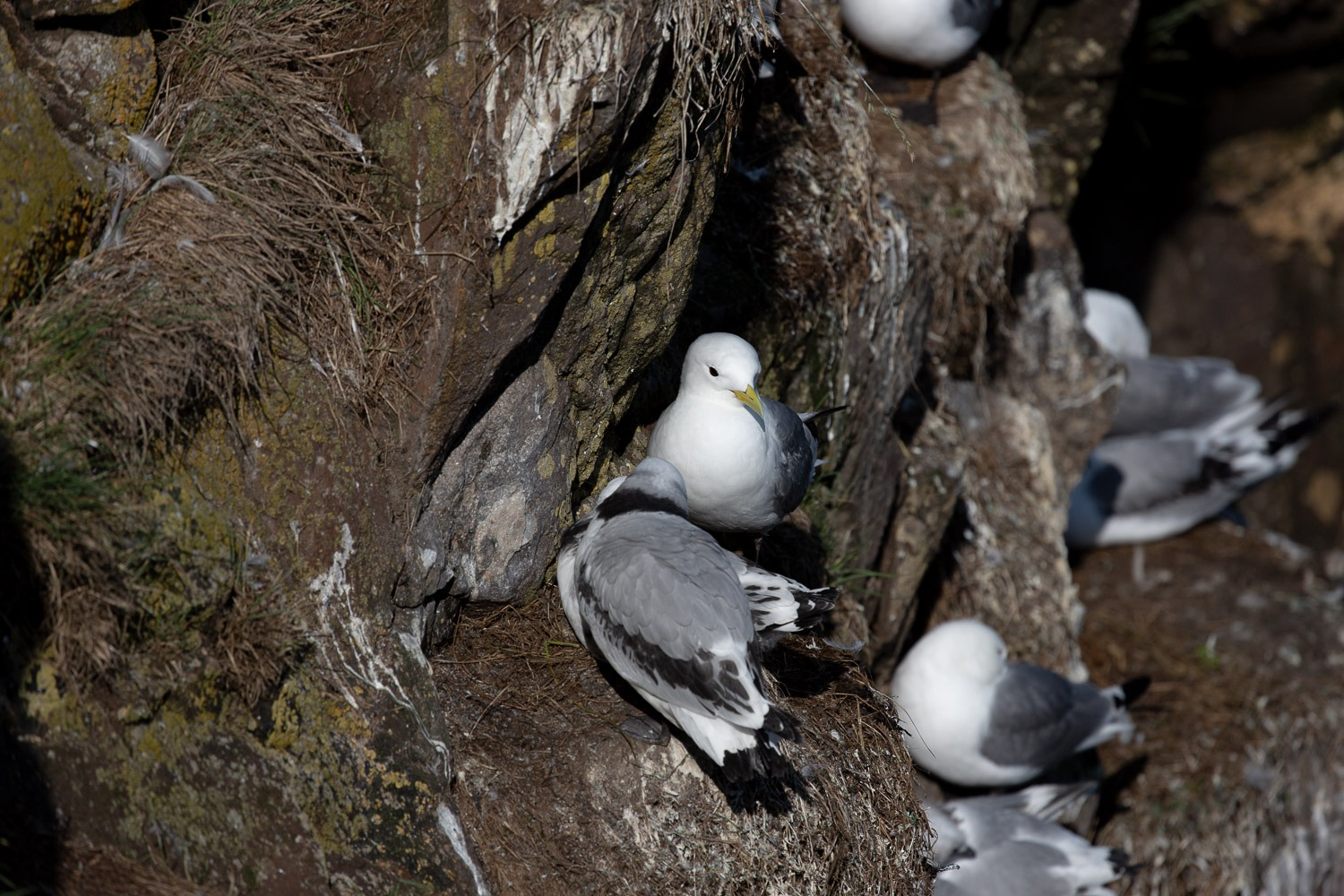 A family of kittiwakes on a cliff in Iceland