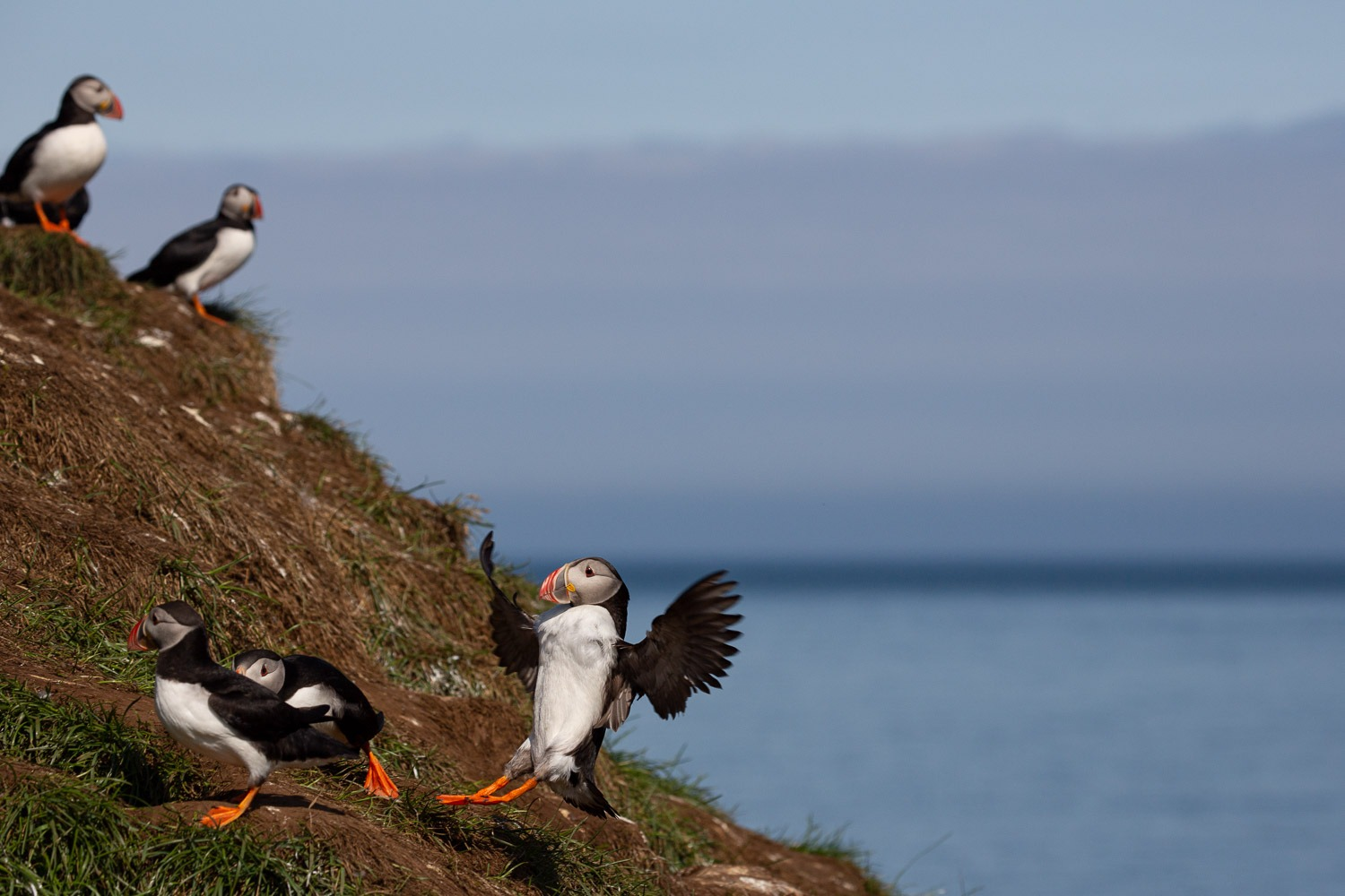 A puffin crash landing in Iceland