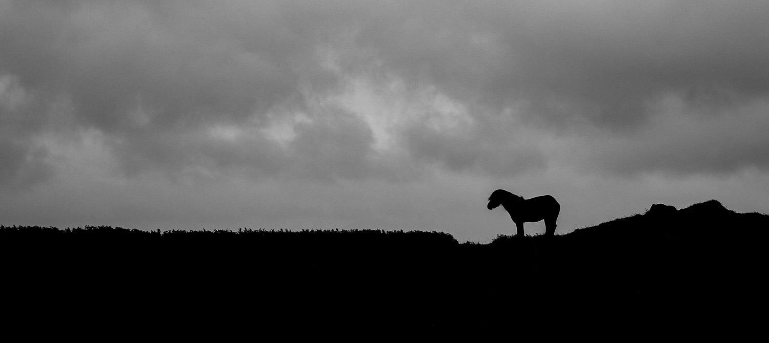 Icelandic horse in a storm being buffeted by the rain in black and white