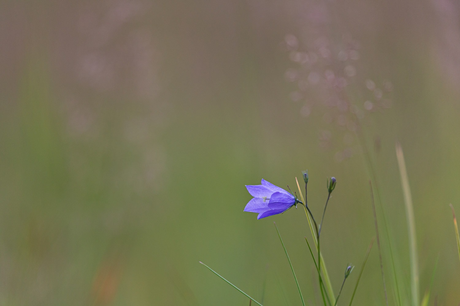 harebell in bottom third of photograph