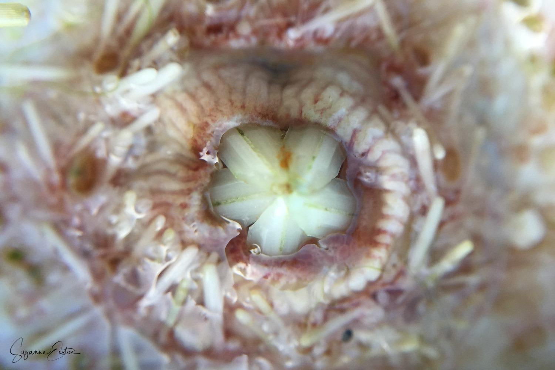 teeth of a sea urchin