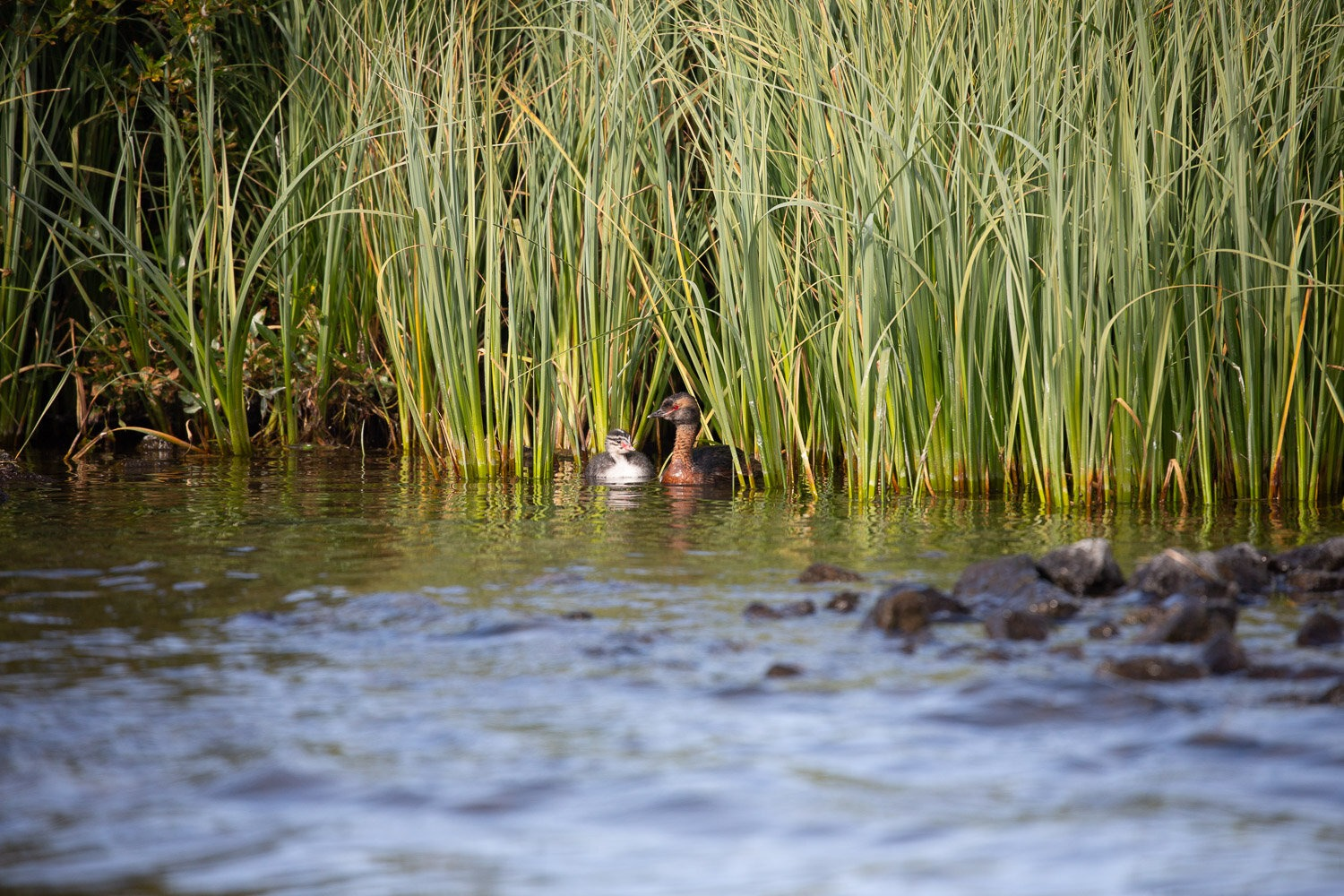 Slavonian grebes with chicks in reeds