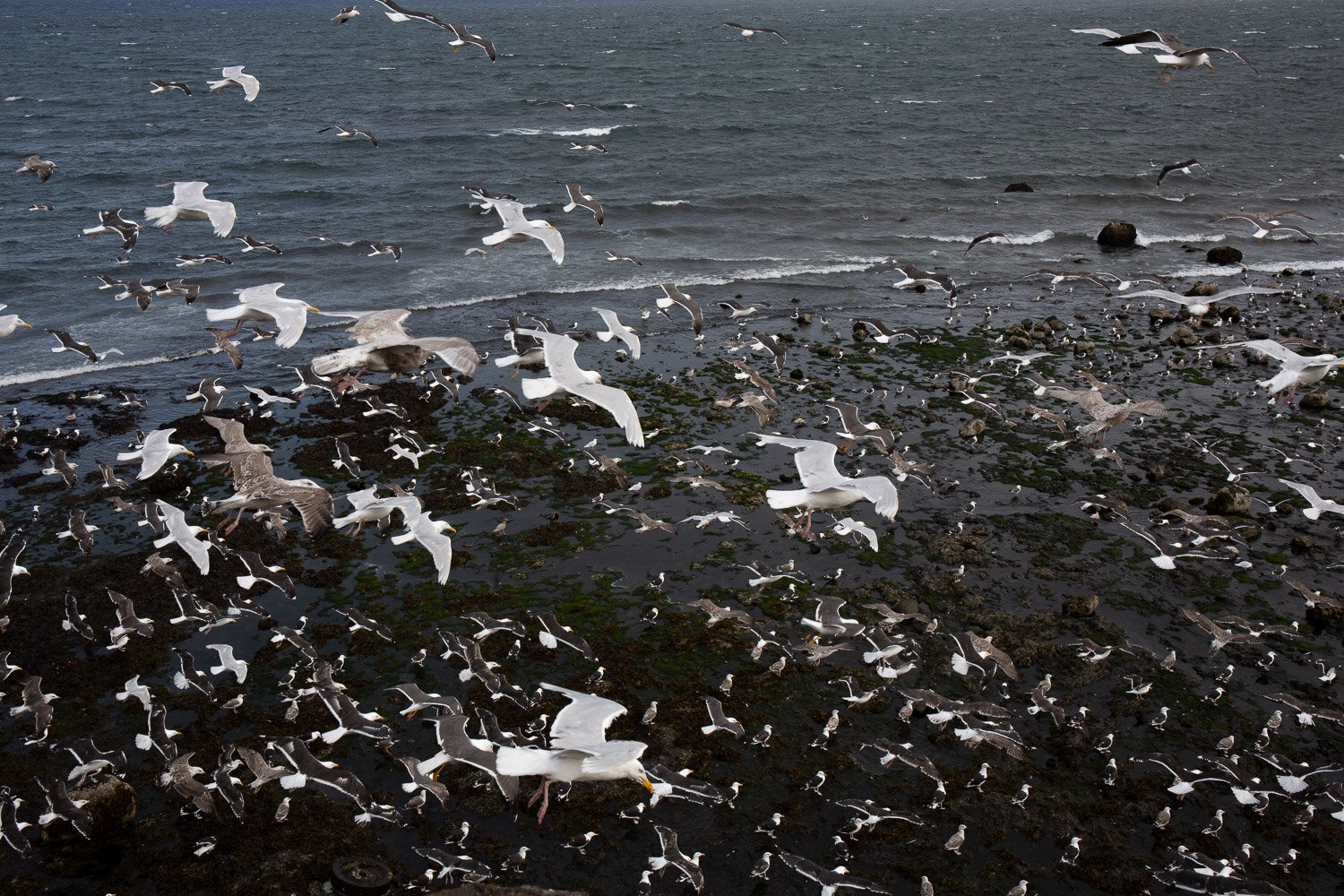 frenzy of gulls by the sea