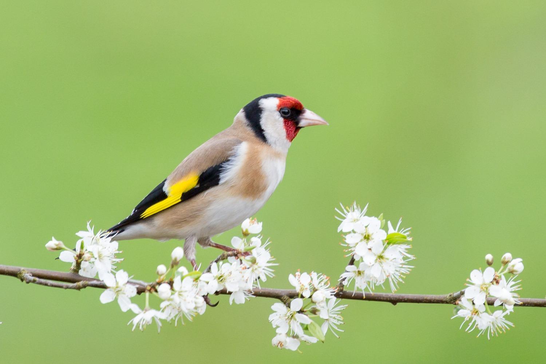 garden bird on hawthorn