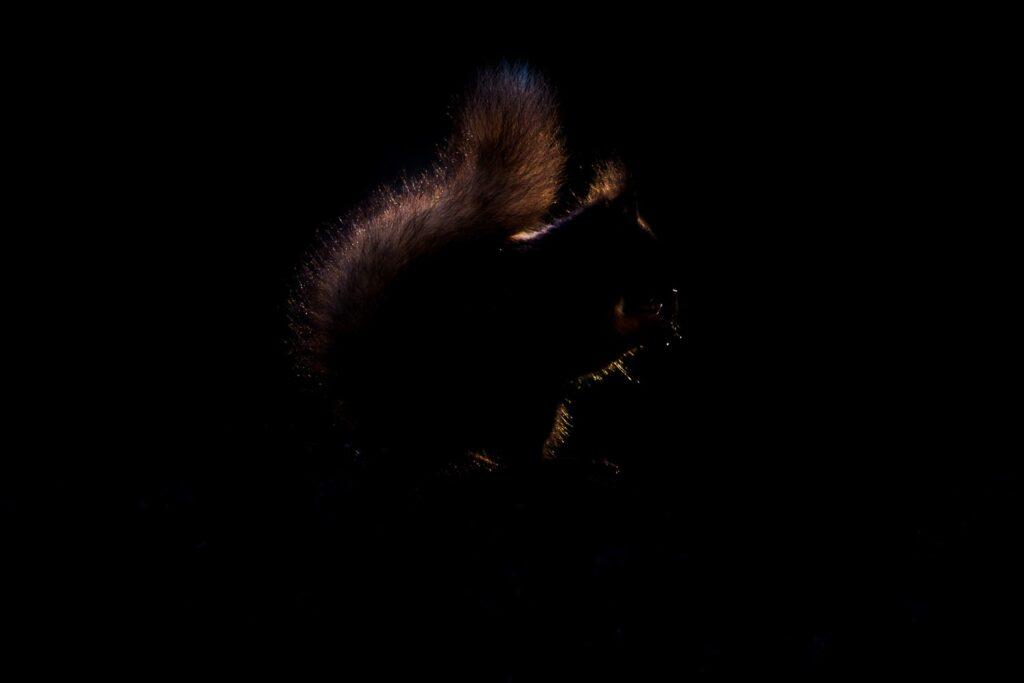 backlit red squirrel