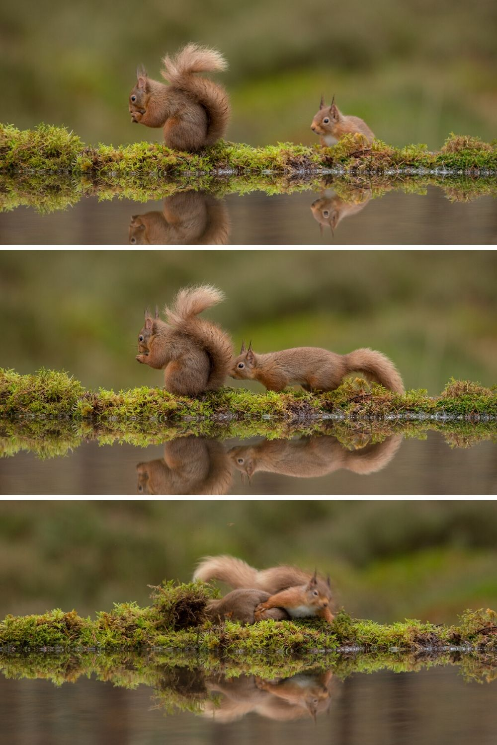 red squirrels fighting
