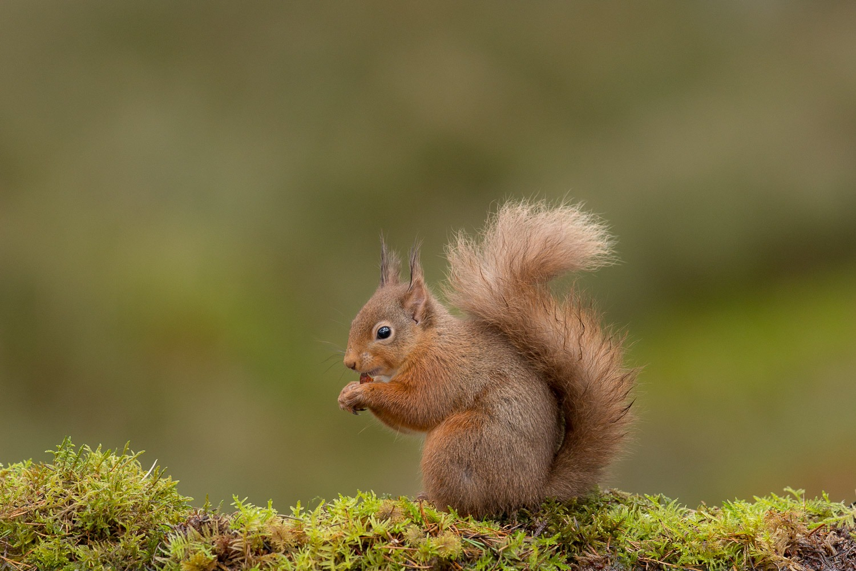 red squirrel feeding