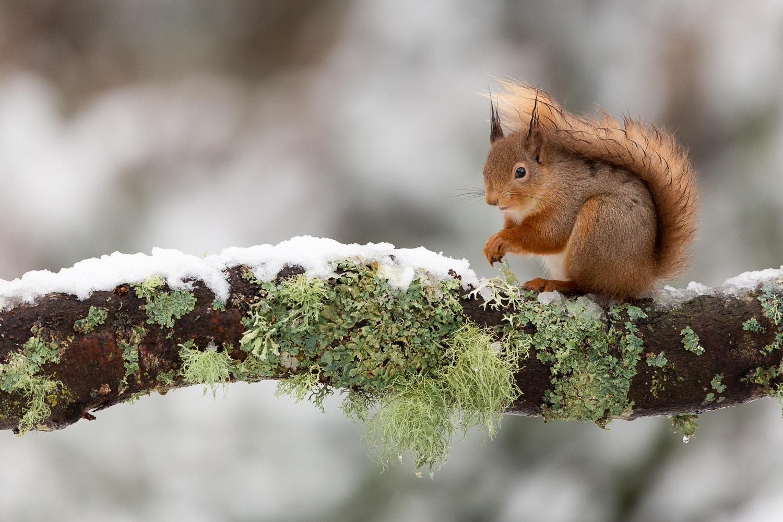red squirrel sitting on a snowy log