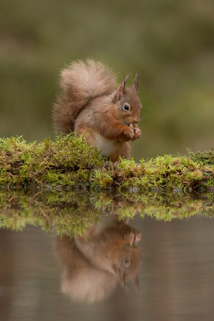 red squirrel by reflection pool