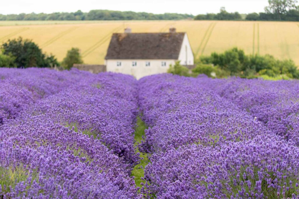 lavender field with house behind