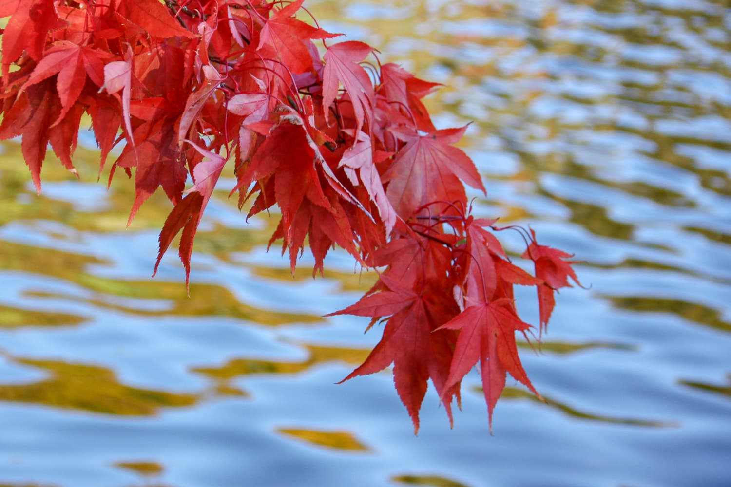 Red autumn maple leaves with water ripples behind