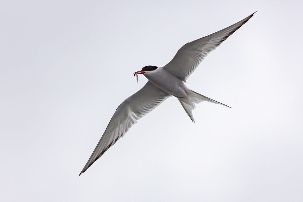 arctic tern with fish in mouth