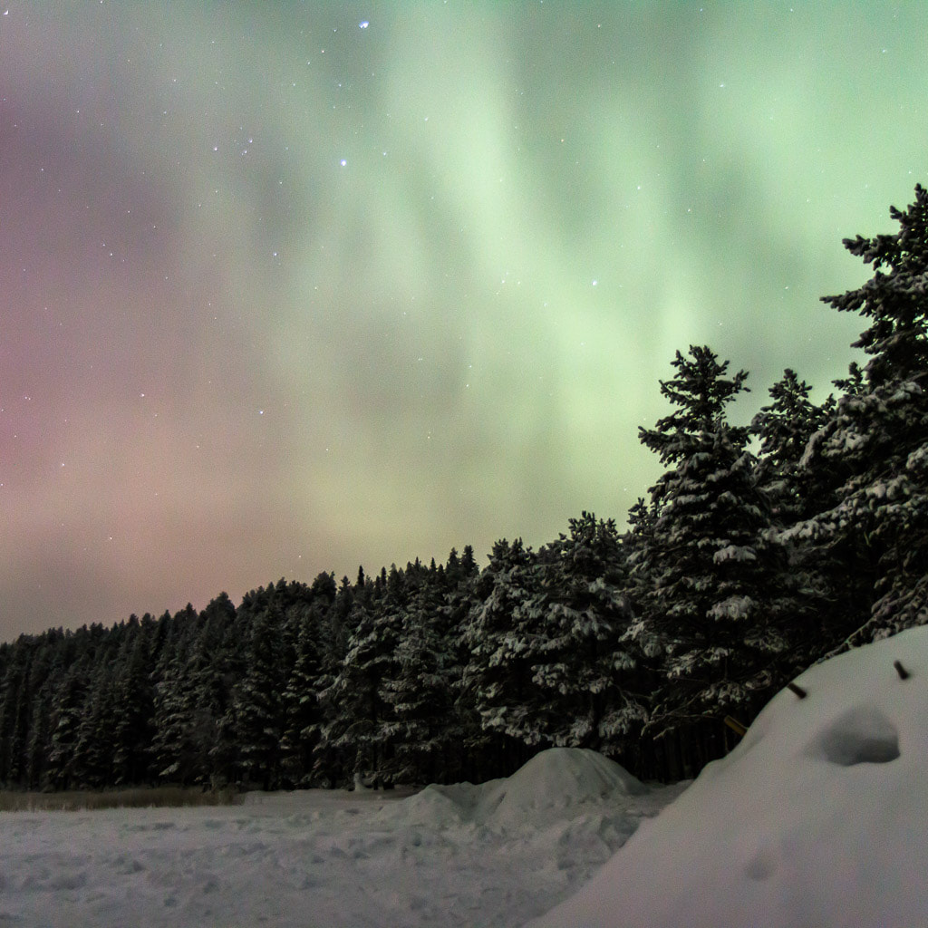 aurora borealis over a forest