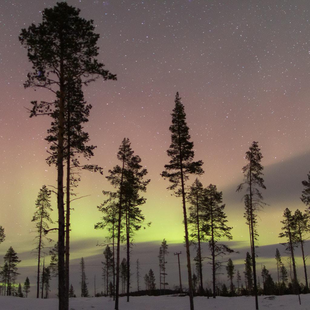 northern lights behind a forest in Sweden