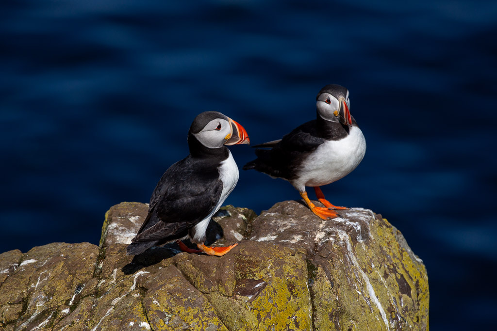two puffins with blue water behind