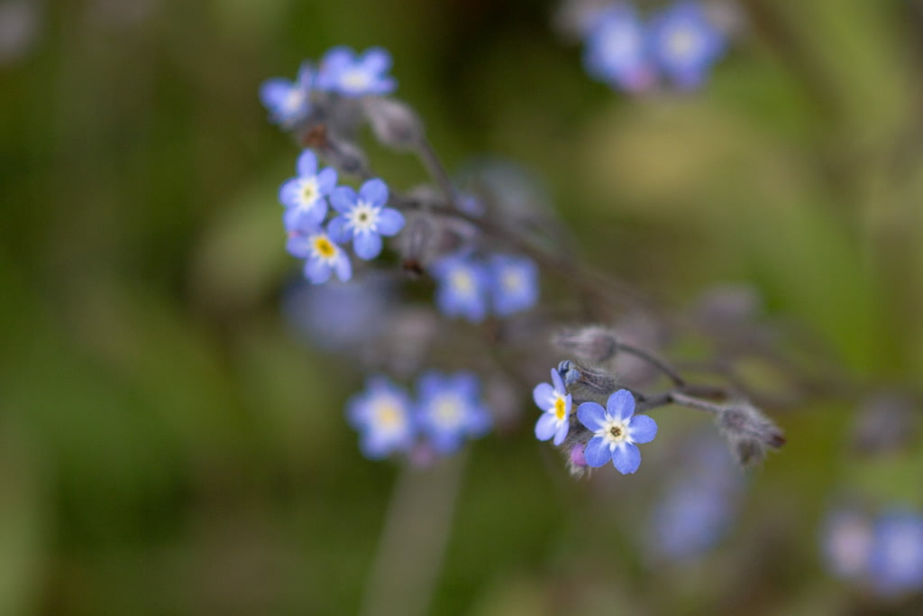 blue forget me not flowers in east Iceland