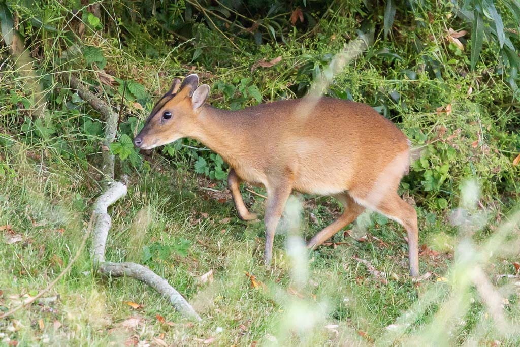 female muntjac deer with woodland background