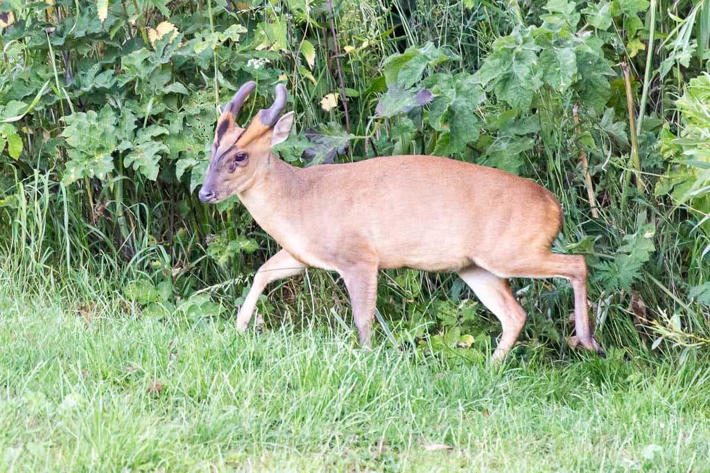 male muntjac deer