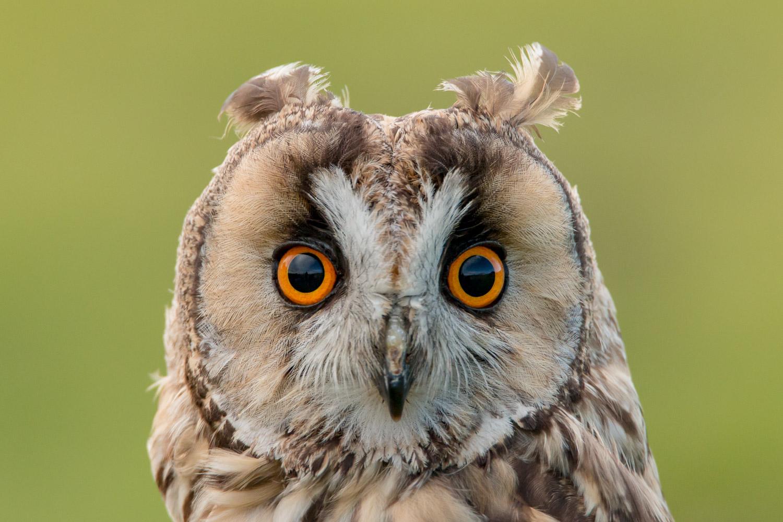 face of a long eared owl