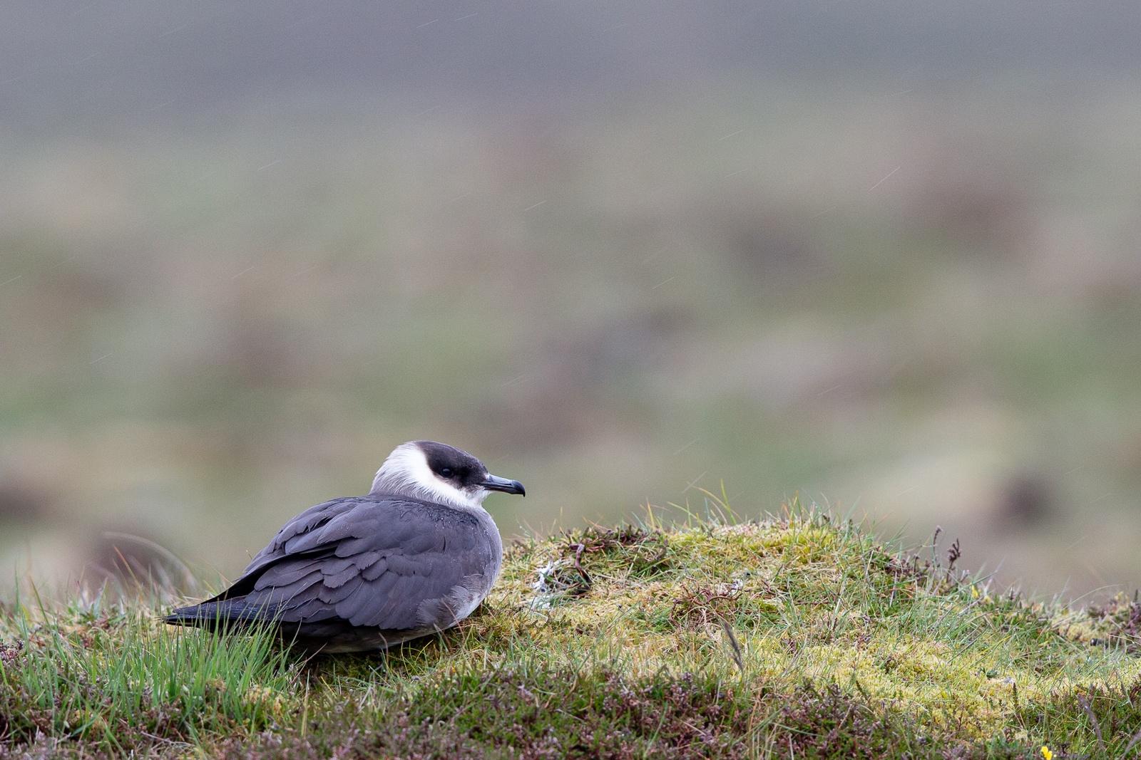 arctic skua in the rain on moorland