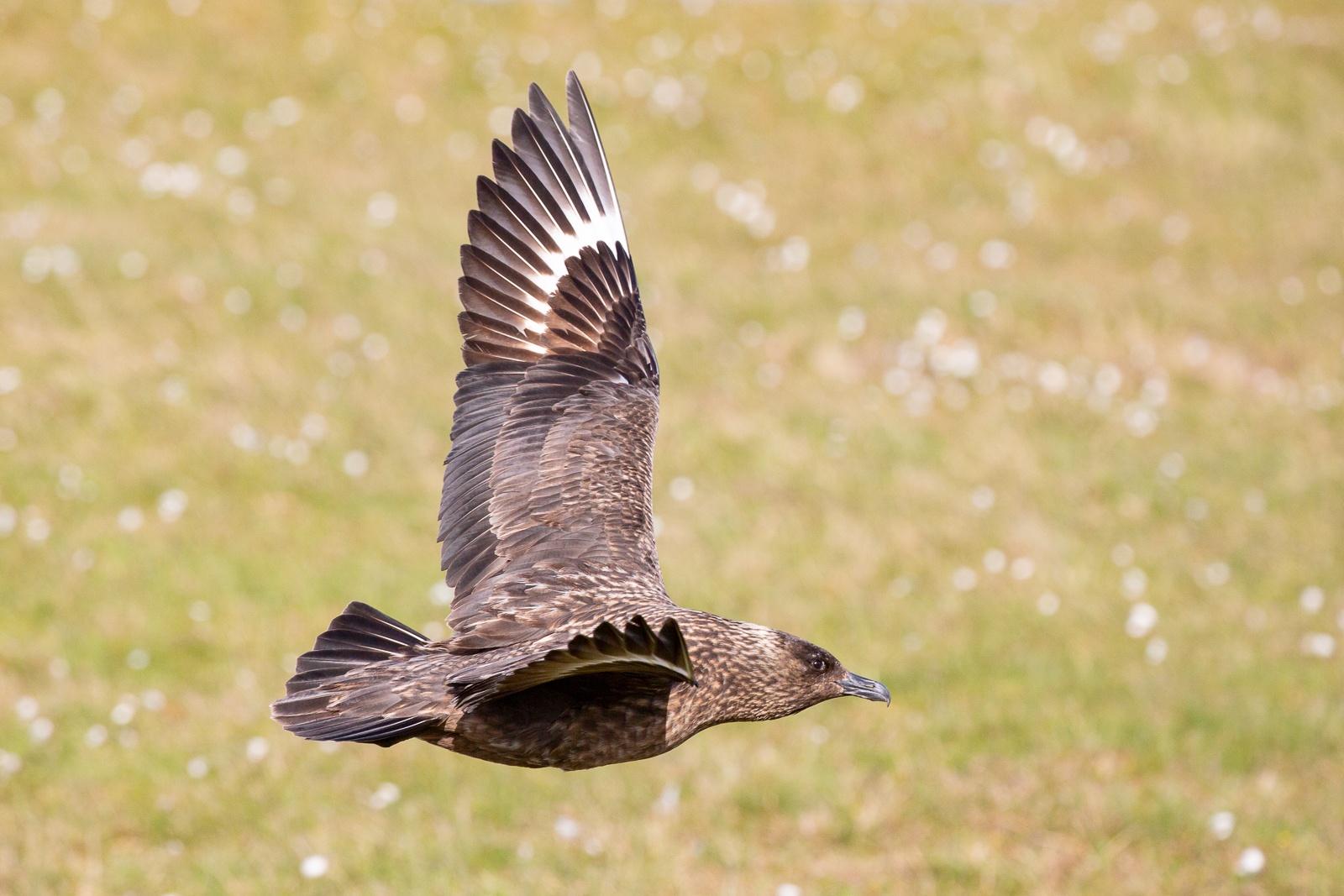a bonxie in flight