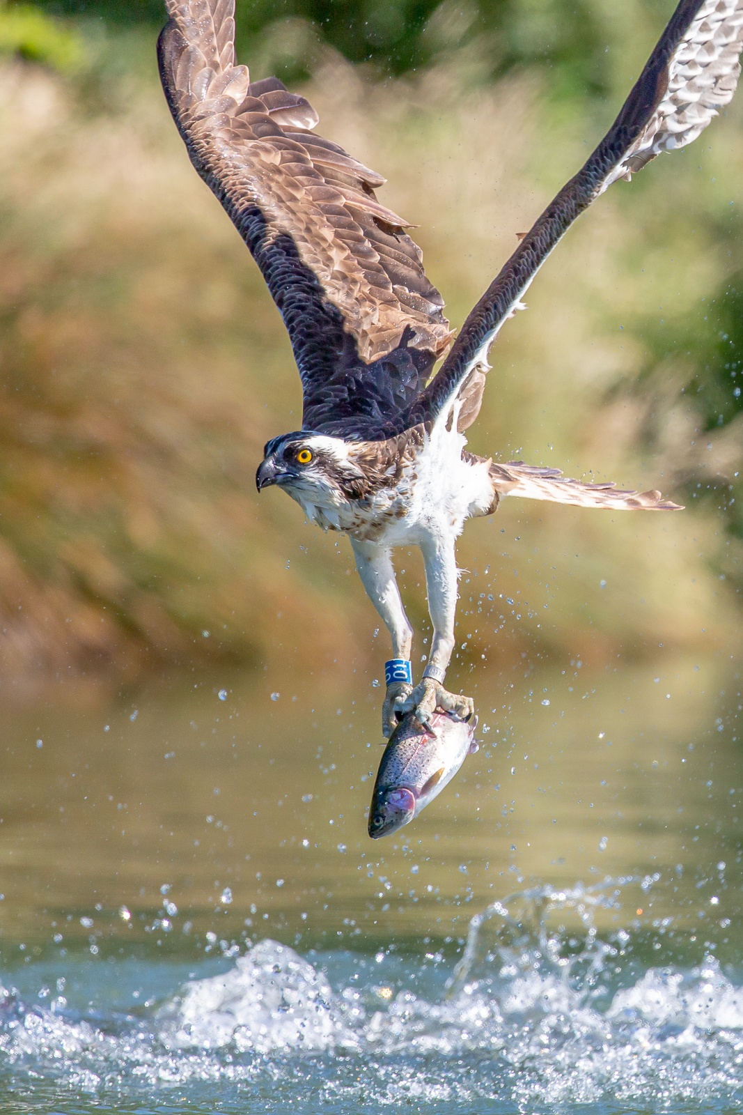 osprey leaving water with fish