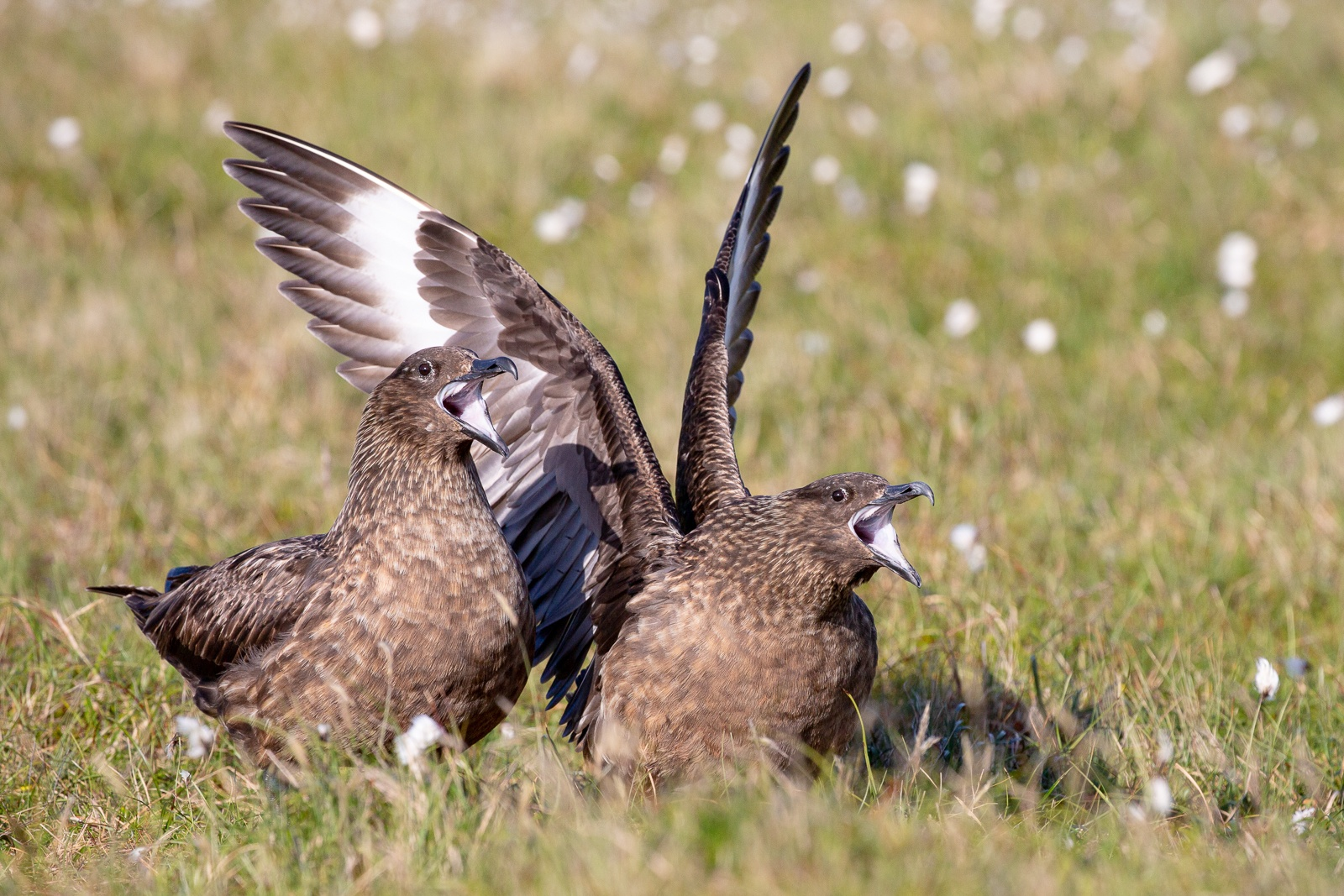 two great skua birds sitting together in grass