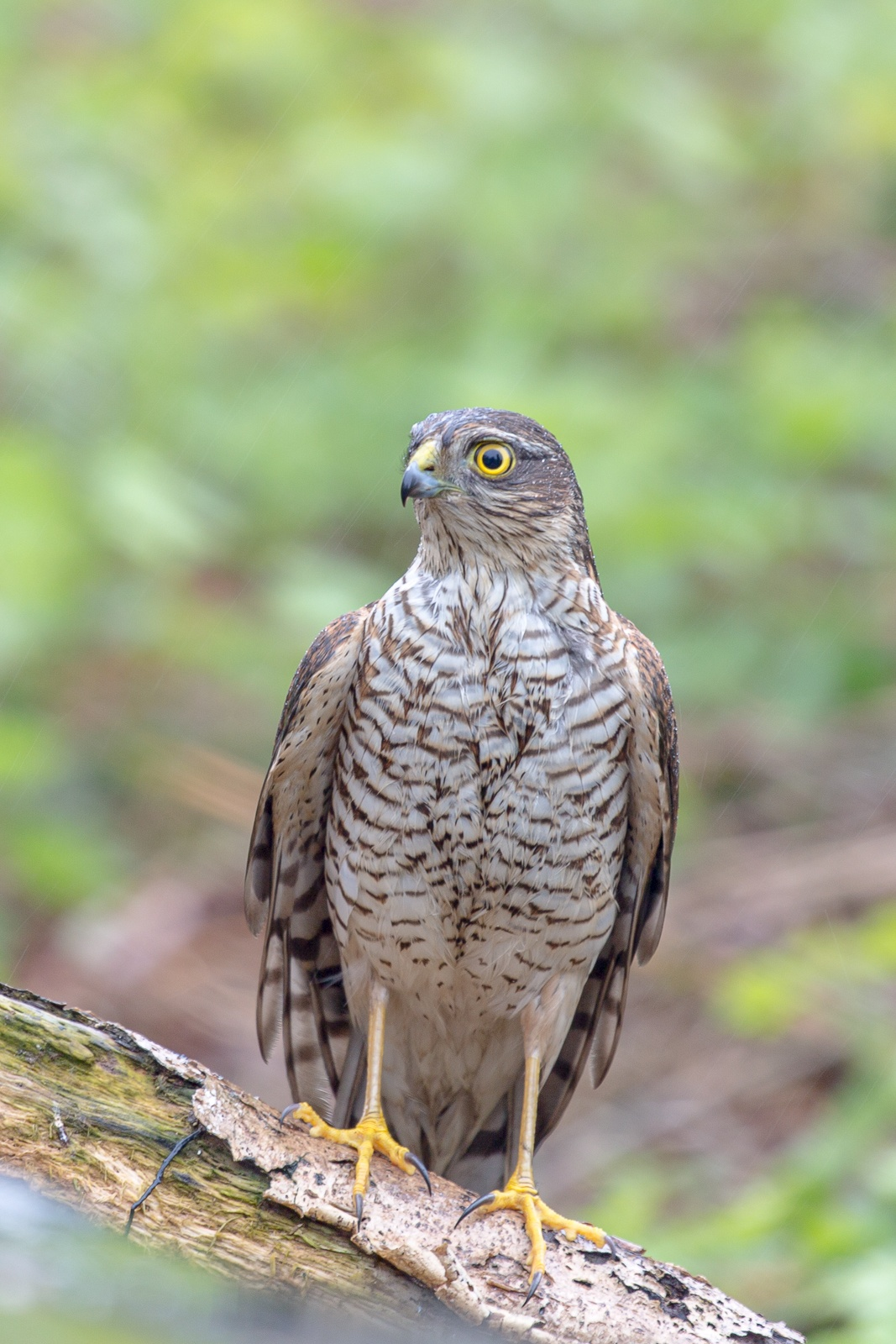 sparrowhawk sitting on a branch