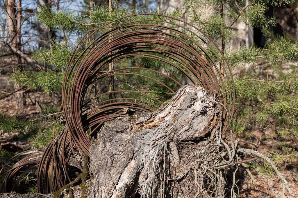 tree stump growing around rusting barbed wire
