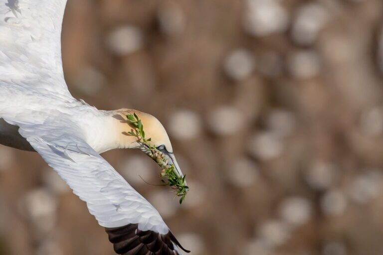 a gannet flying with nesting materials