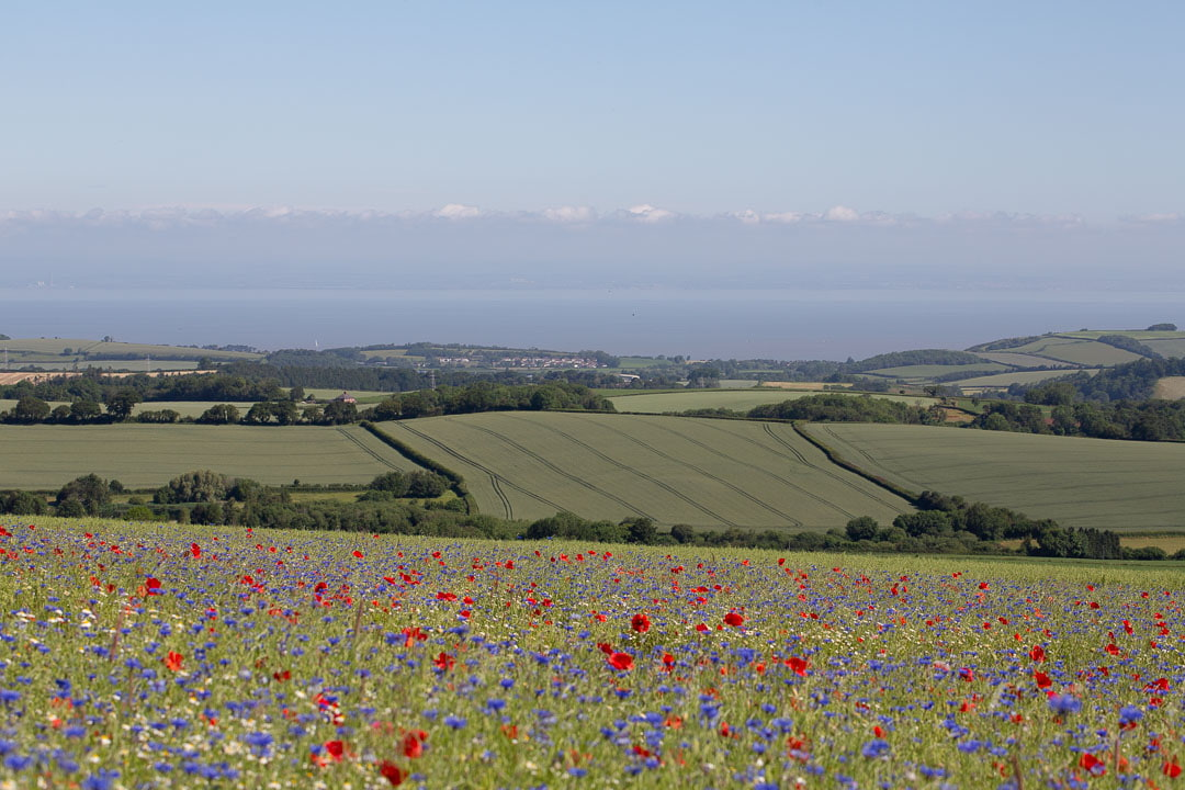 A flower meadow with fields and sea in the distance